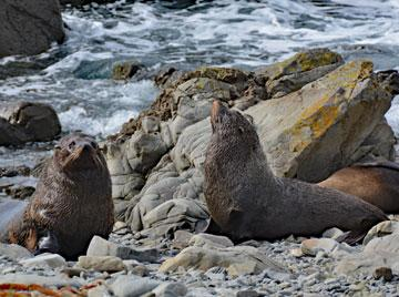 Fur seals sunning themselves on the Kaikoura Coast