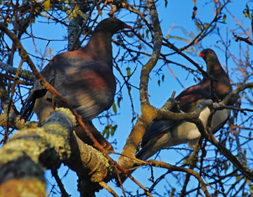 Two large Keruru - native wood pigeons