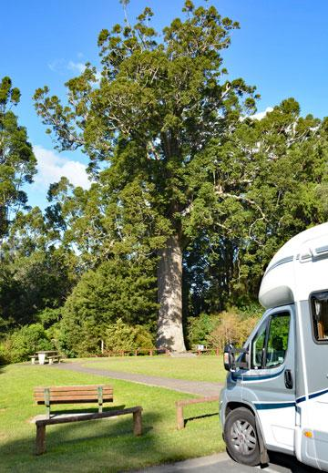 Parking in front of a large Kauri tree