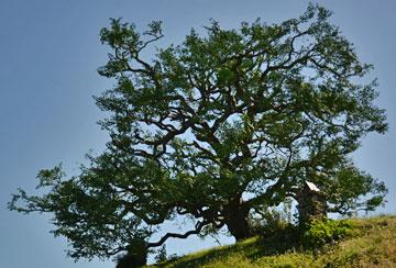 The reconstructed oak tree