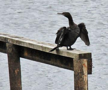 Shag drying his wings
