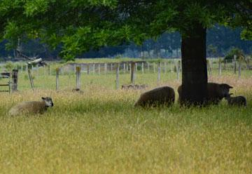 Sheep grazing on the reserve