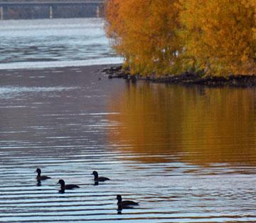 Ducks and autumn reflections
