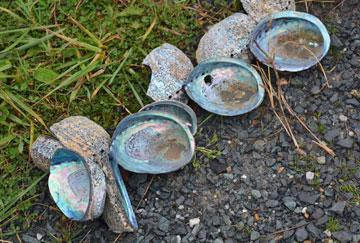 Paua shells used to decorate the path