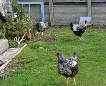 Chickens outside - but no fresh eggs inside...