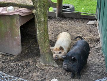 Pigs in a pen within the campsite