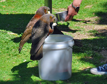 Kaka at feeding time
