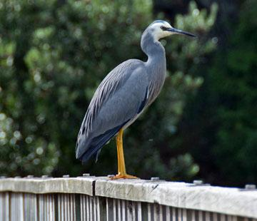 Resident white-faced heron posing for my camera