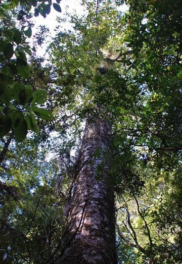 Young kauri tree - typical of many you will see in the forest